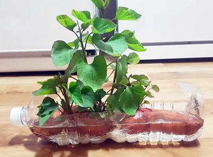 Chị Ngọc Lan, ở Quảng Ninh, còn tỉ mỉ cắt chai nước làm không gian sống cho khoai lang.