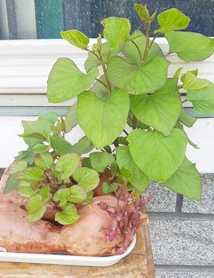 Lúc đầu chị trồng trong một chậu đất nhỏ, sau đó mới cho vào nước, ngày tưới 2 lần.