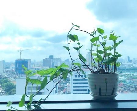 Anh Thành Trung, ở Hà Nội, cho hay anh và đồng nghiệp trồng khoai được gần một tháng. Lúc đầu trồng trong đất, sau đó mới đưa vào nước. Vì củ khoai to quá nên mọi người phải cắt làm đôi để vừa với bình.