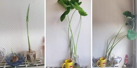 Chị Lan, ở Hà Nội, trồng khoai môn trong chậu nước. Cũng giống như khoai lang, khoai môn ngâm nước lớn rất nhanh, thân cây thẳng tắp.