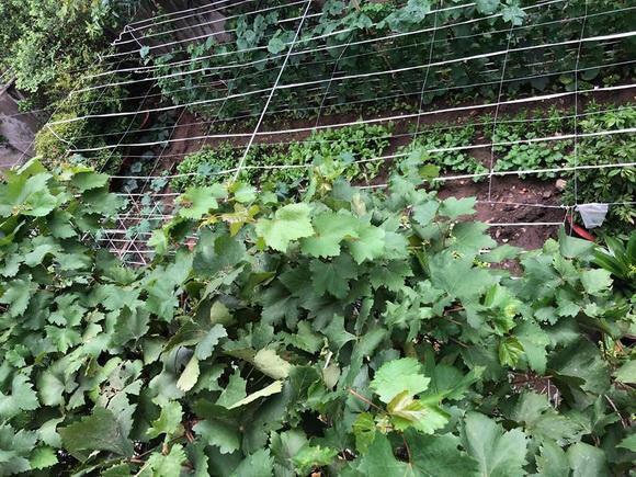 Vườn rau của gia đình nghệ sĩ rất rộng, trồng nhiều loại rau quen thuộc theo mùa như muống, mồng tơi, xàlách, khổ qua,... Phía bên trên còn được làm giàn cẩn thận để trồng các loại cây leo.
