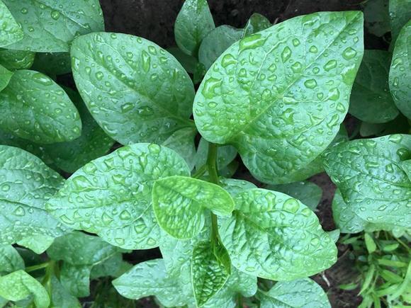 Chăm sóc khu vườn xanh tốt vừa là thú vui, vừa là nguồn cung cắp thực phẩm sạch cho bữa ăn hàng ngày.