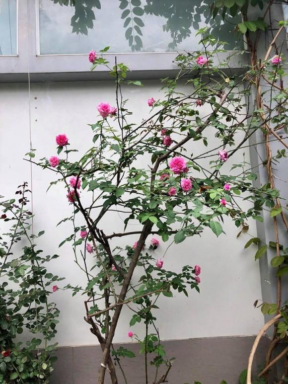 Nhiều loại hoa hồng được vợ chồng nghệ sĩ yêu thích tìm mua về trồng