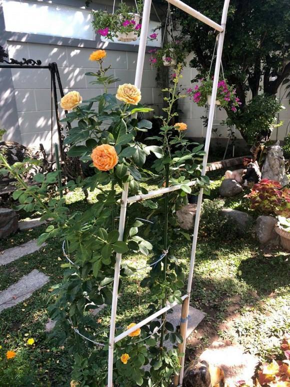 Do được dày công chăm sóc nên các cây hoa hồng bung nở nhiều bông rực rỡ