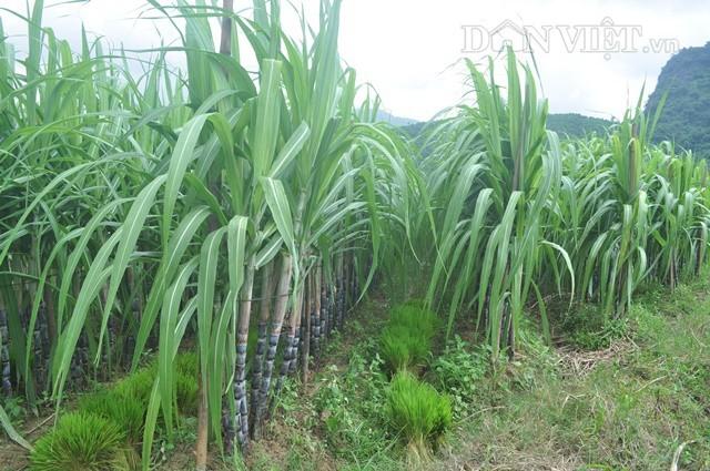 Ruộng mía tím ở Sơn Dương, Hoành Bồ đang trong thời kỳ ra gióng