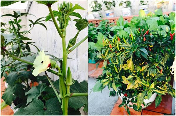 Vườn rau nhà anh Thanh có phong phú chủng loại rau sống, rau ăn lá, các loại quả và gia vị.