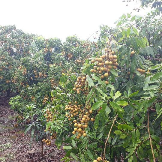 Vườn nhãn của anh Kiên, cây nào, cây nấy cũng trĩu quả
