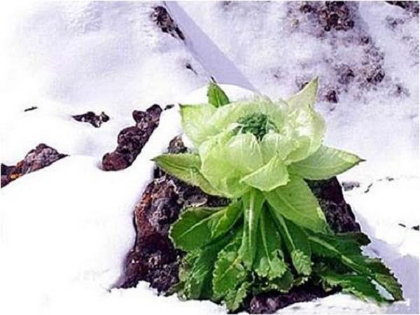Thiên siên tuyết liên được còn được gọi là hoa sen mọc trên núi tuyết ở Tân Cương hoặc Tây Tạng (Trung Quốc)