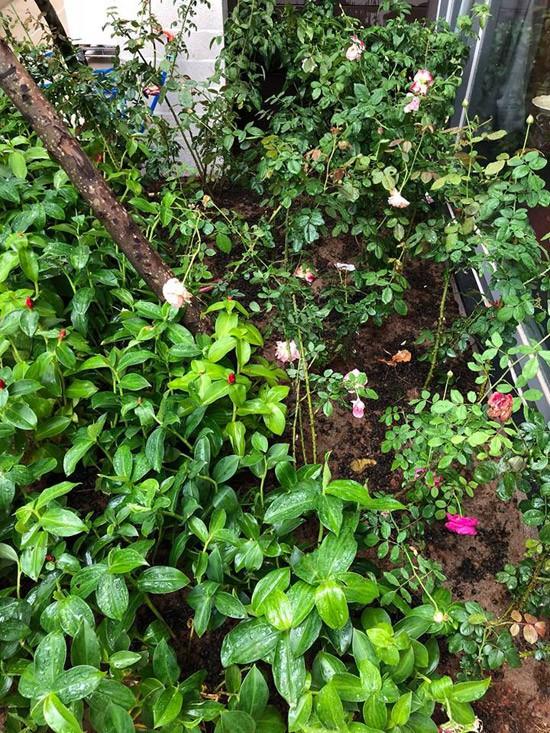Khoảng sân nhỏ trước nhà được anh dành để trồng hoa hồng Pháp.