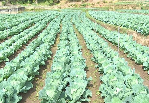 Vườn rau bắp cải xanh tốt