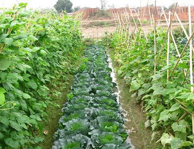 Nhờ chăm sóc đúng kỹ thuật vườn rau của anh Kiên phát triển xanh tốt mang lại nguồn thu nhập cao cho gia đình