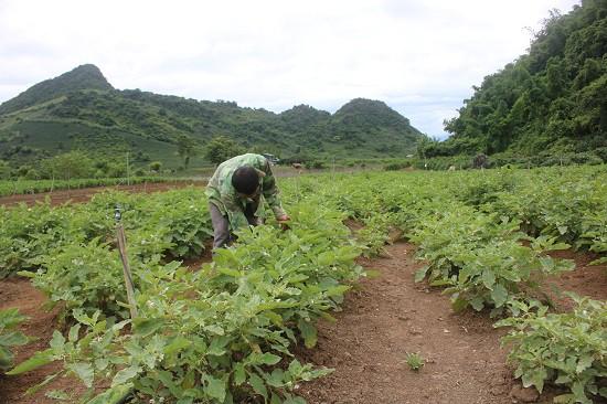 Nhờ kết hợp trồng nhiều loại rau màu theo nhu cầu người tiêu dùng nên việc tiêu thụ sản phẩm thuận lợi hơn