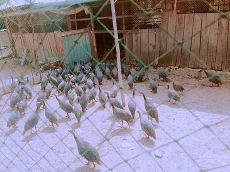 Một đàn gà sao trong chuồng của gia đình ông Lữ Văn Thảnh.