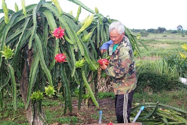 Đặc biệt khi trồng thanh long cần phải né mùa mưa nếu không thăng long sẽ úng và chết