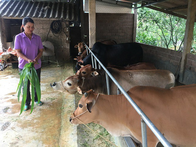 Nhờ nuôi giống bò cóc địa phương theo kiểu nhốt chuồng, gia đình bà Khánh đã sở hữu khối tài sản lớn.