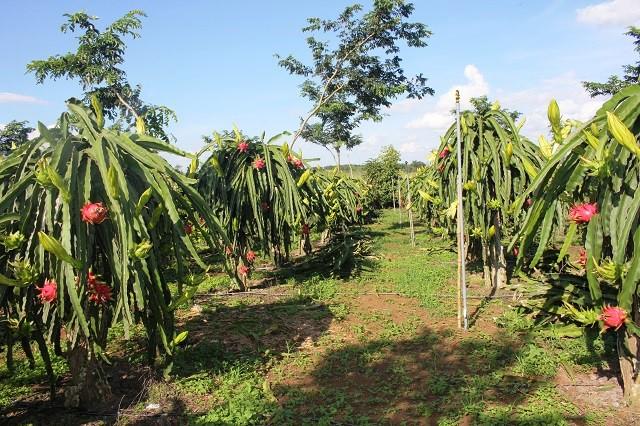 Để tiết kiệm nước, toàn bộ khu vườn ông đều lắp đặt hệ thống tưới nước nhỏ giọt