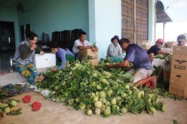 Ngoài thanh long, ông Lợ cũng trồng thêm na mỗi năm cho thu về hơn 100 triệu đồng.