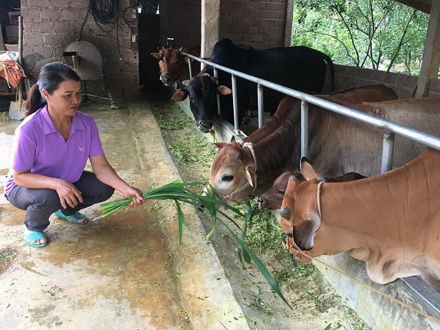 Bà Khánh trồng thêm cỏ voi, ngô trên nương rẫy để đảm bảo đầy đủ nguồn thức ăn cho đàn bò của gia đình.