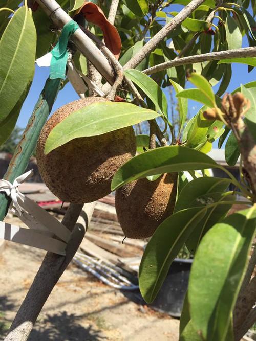 Cây hồng xiêm khoe thành phẩm trong tiết trời dễ chịu ở California.