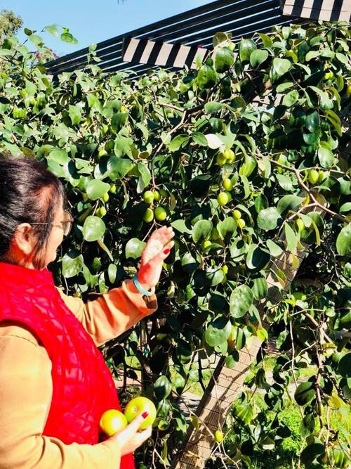 Bạn bè Việt kiều nói với anh rằng họ thấy bóng dáng quê hương trên đất khách khi thưởng thức những trái táo bé xíu, vị chua dịu.