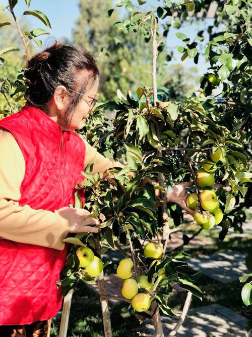 Chỉ cao tới ngực người nhưng cây táo Mỹ khiến mẹ con Bằng Kiều bối rối vì không đếm xuể trái chín.