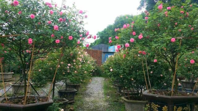 Bên cạnh hồng ngoại, chị Trang cũng không quên dành một phần trang trọng nhất trong vườn cho các giống hồng cổ...