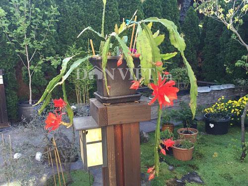 Một cây hoa nhật quỳnh trong vườn nhà anh Thiên đang đua sắc. Ảnh: NVCC