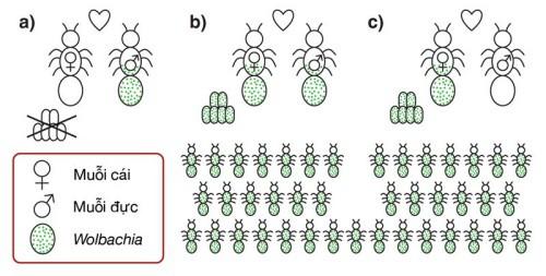 Cơ chế lan truyền vi khuẩn Wolbachia trong quần thể muỗi vằn. Ảnh: Elminatedengue.