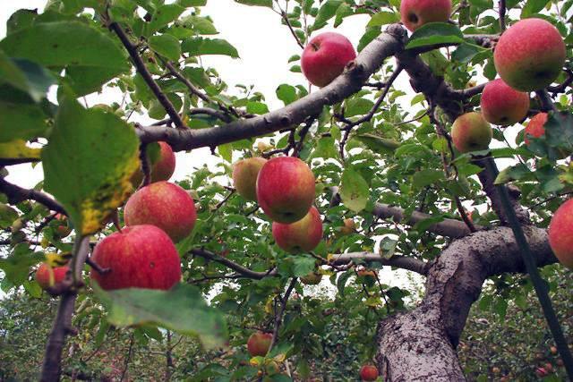 Những trái táo thần kỳ được trồng theo chế độ chăm sóc đặc biệt tại trang trại của ông Okinori Kimura - một nông dân Nhật Bản nổi tiếng nhờ phương pháp trồng táo không cần phân bón hóa học và thuốc trừ sâu.