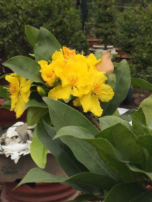 Hoa mai nhiều cánh. Những hoa nở sớm đều bị vặt bỏ.