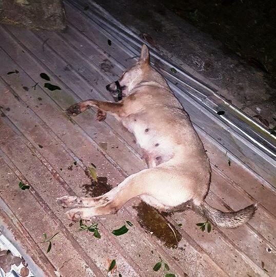 Một con chó đã bị đánh bả chết được phát hiện trong bao tải