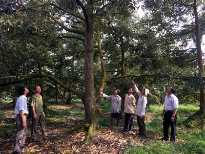Trồng sầu riêng nghịch vụ, thu 15 triệu/cây, cả vườn là 1 tỷ