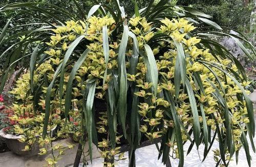 Đây là loại địa lan quý ở Sapa, với hoa màu xanh vàng (giống như màu mạ non), nhìn rất đẹp và thơm. Loại hoa này cũng gắn với kỉ niệm của vua Trần Anh Tông.