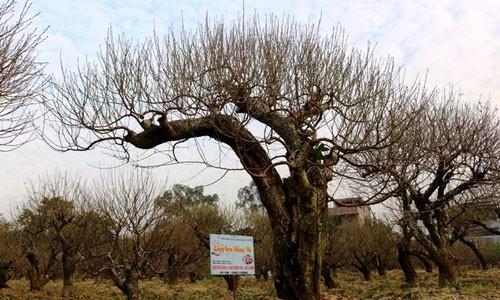 Những cây đào cổ thụ có giá tới hàng chục triệu đồng.