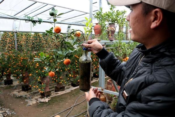 Anh Quang chủ vườn quất Quang Ngân cho biết những cây quất trồng trong chai cần phải tạo thế rất tỷ mỉ để không bị đổ khi bày trên bàn.