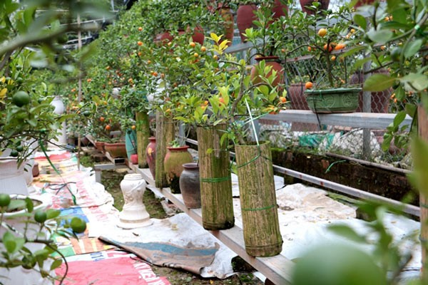Như đưa những cây quất bonsai vào các ống tre.