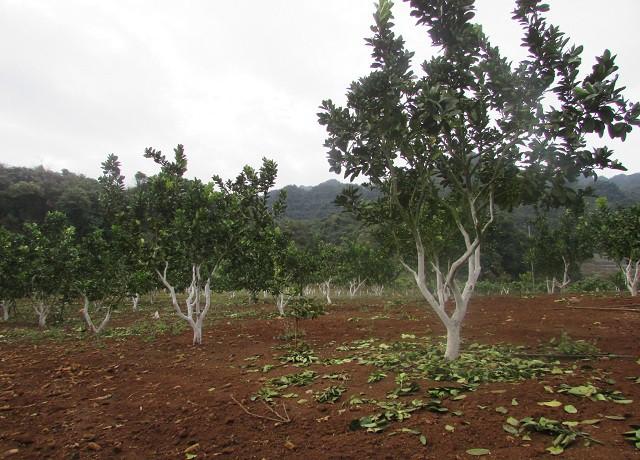 Vườn cây ăn quả của ông Dũng được lắp đặt hệ thống tưới tiêu nhỏ giọt theo công nghệ Israel để tiết kiểm nước và chi phí tưới tiêu