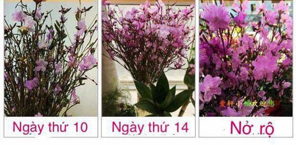 Hay nhập hoa về bán online, chị Dương Nguyên (Hà Nội) cho biết: Màu sắc của hoa nở còn phụ thuộc vào ánh nắng, nếu để nơi ít nắng hoa sẽ có sắc hồng, để nơi nắng nhiều là tím hồng.