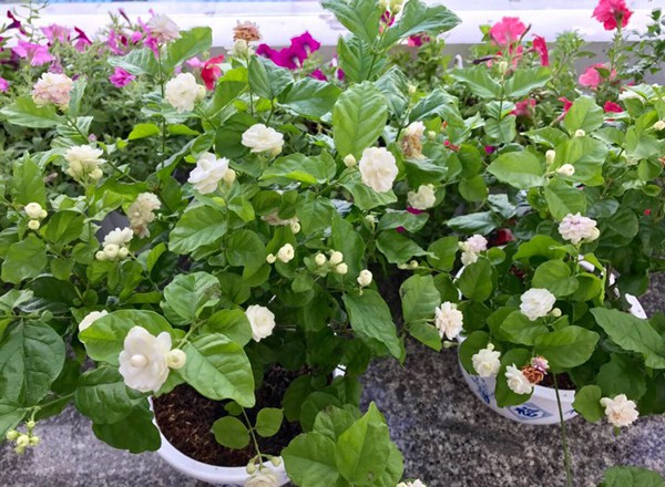Yêu hoa nên chị còn hay sưu tầm hình ảnh nhà vườn và ban công rợp sắc hoa trong điện thoại để ngắm mỗi khi rảnh. Bà mẹ nổi tiếng muốn sau này sẽ về quê sống để thỏa thích trồng rau, cây ăn trái, và các loại hoa yêu thích quanh nhà.