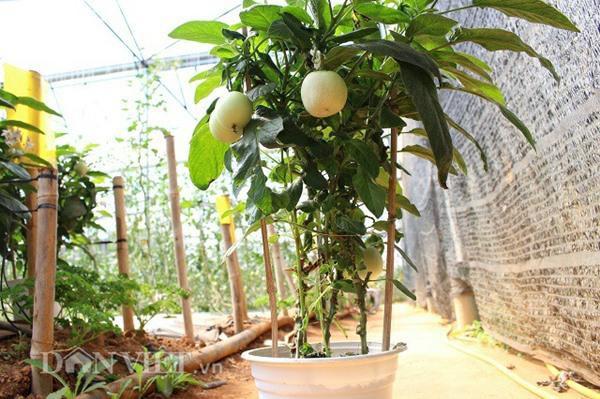 Một chậu dưa pepino chuẩn có 3 cây, được gia cố bằng các thanh tre và có 6 - 10 quả. Ảnh: Văn Long.