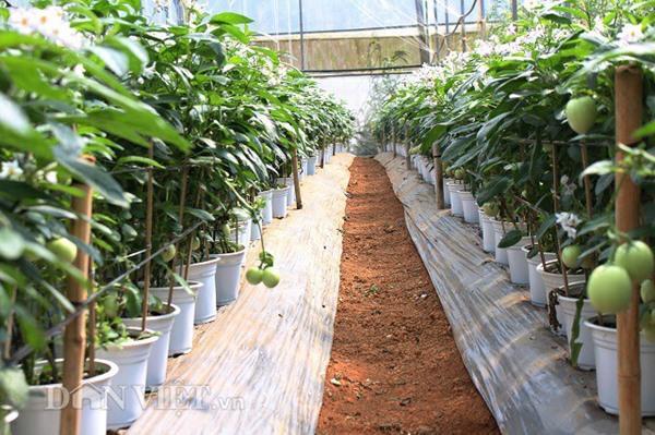 Để phục vụ Tết Kỷ Hợi, anh Định trồng khoảng 1.000 chậu dưa. Ảnh: Văn Long.