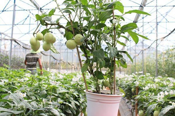 Một chậu dưa pepino chuẩn trong vườn của anh Định. Ảnh: Văn Long.