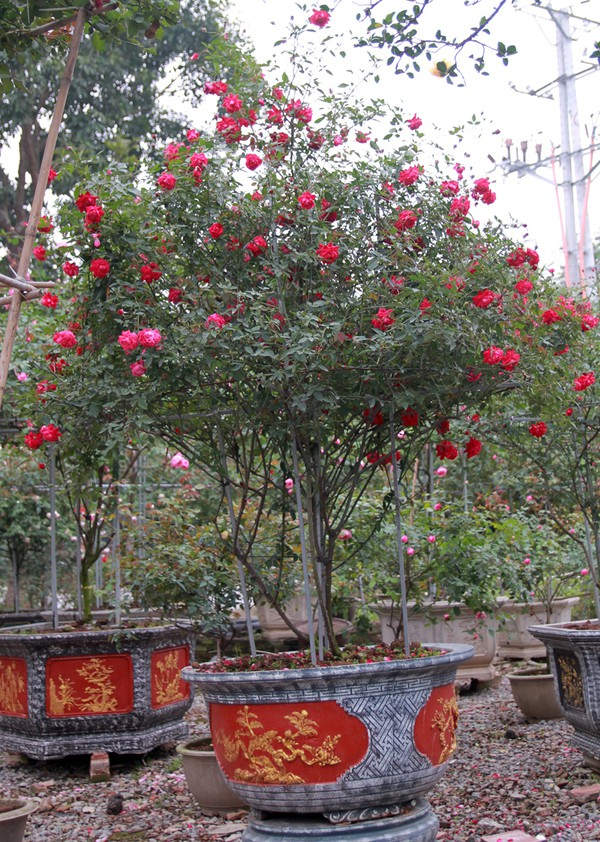 Gốc hồng quế son này có xuất xứ từ Huế, hương thơm đậm, đặc biệt nhiều hoa quanh năm, được định giá 25 triệu đồng.
