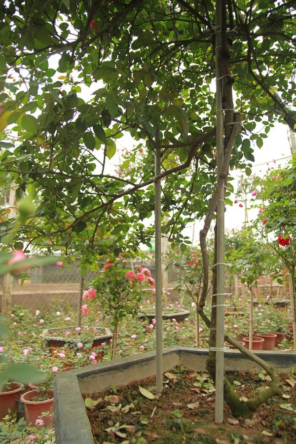 Một cây hồng Sapa khác gốc không to, song đang được định giá 45 triệu đồng, bởi đây là một cây hồng thế, có hai cành, trong đó một cành nhỏ uốn lượn quanh cành to.
