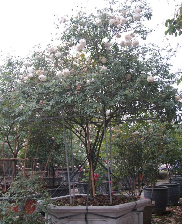 Các gốc hồng cổ thụ được sưu tầm trong dân, sau đó về chăm bón và cung cấp cho khách hàng có tiền. Không thể xác định chính xác tuổi đời của một cây hoa hồng, mà chỉ có thể dựa vào kích thước gốc hoa, tán hoa để ước lượng, anh Thọ nói. Theo đó, các cây khủng nhất trong vườn anh được xác định tuổi đời 30-50 năm. Trong ảnh là cây bạch cổ, được định giá 65 triệu.