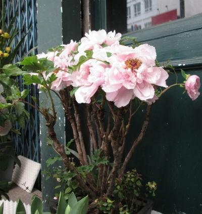 Nhiều gia đình chọn mua loại hoa này để chưng trong nhà dịp Tết với ước muốn thịnh vượng và hạnh phúc cho gia đình trong năm mới.