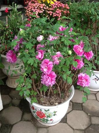 Cụ thể một chậu hoa mẫu đơn giá khoảng 4 triệu đồng gồm 5-8 thân, có khoảng 20 bông hoa.