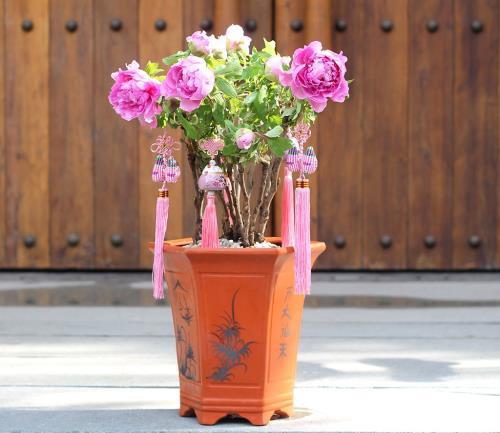 Việc trồng và chăm sóc cây hoa này khá phức tạp hơn các loại cây hoa, cây cảnh khác vì mẫu đơn khá nhạy cảm.