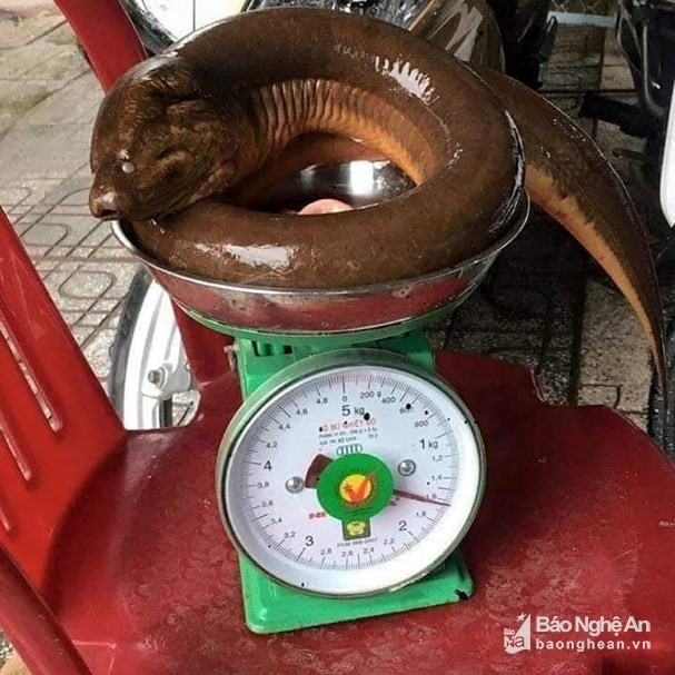 """Con lươn """"khủng"""" có cân nặng 1,6kg."""