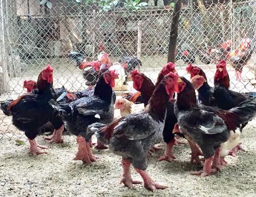 Những con gà Đông Tảo xuất thịt, giá 1,5-2 triệu đồng/con nặng trên 4 kg. Ảnh: Lê Trung.